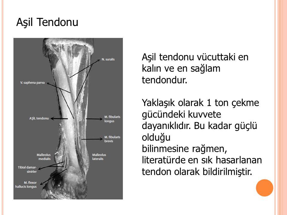 Aşil Tendonu Aşil tendonu vücuttaki en kalın ve en sağlam tendondur. Yaklaşık olarak 1 ton çekme gücündeki kuvvete dayanıklıdır. Bu kadar güçlü olduğu