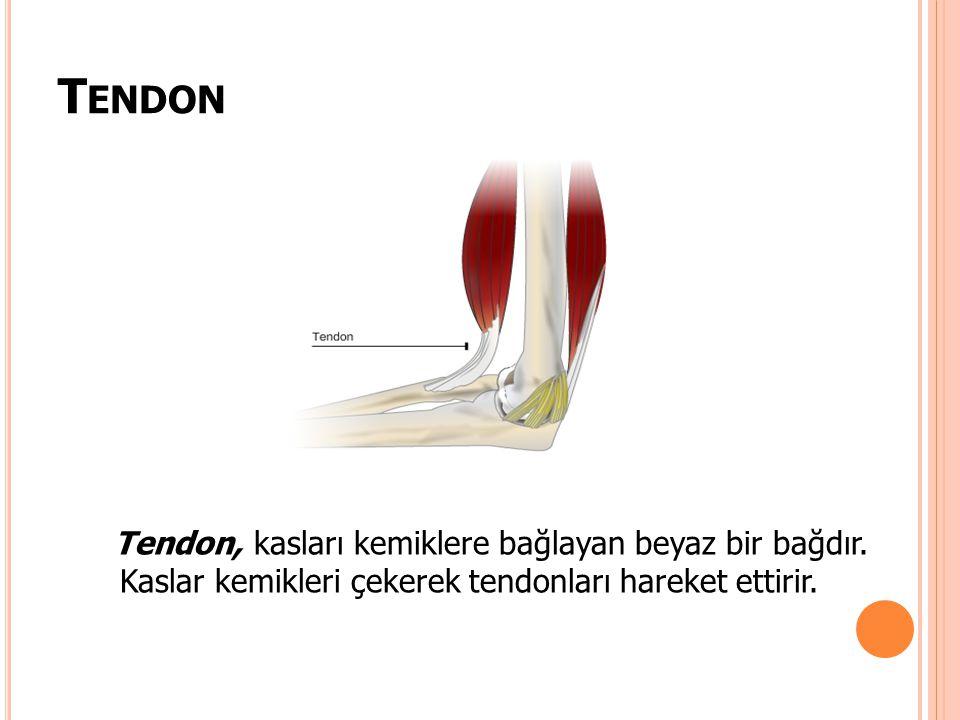 T ENDON Tendon, kasları kemiklere bağlayan beyaz bir bağdır. Kaslar kemikleri çekerek tendonları hareket ettirir.