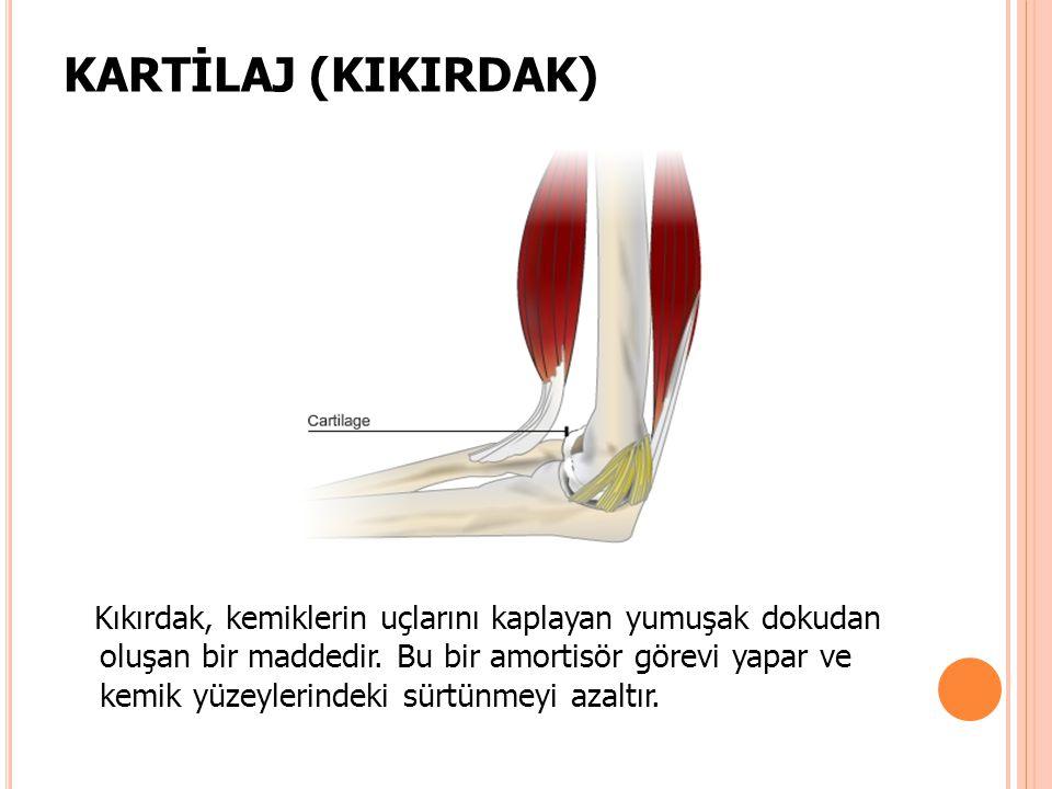 KARTİLAJ (KIKIRDAK) Kıkırdak, kemiklerin uçlarını kaplayan yumuşak dokudan oluşan bir maddedir. Bu bir amortisör görevi yapar ve kemik yüzeylerindeki