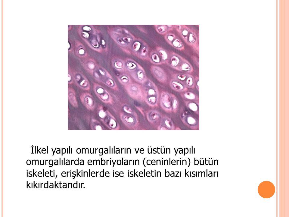 İlkel yapılı omurgalıların ve üstün yapılı omurgalılarda embriyoların (ceninlerin) bütün iskeleti, erişkinlerde ise iskeletin bazı kısımları kıkırdakt