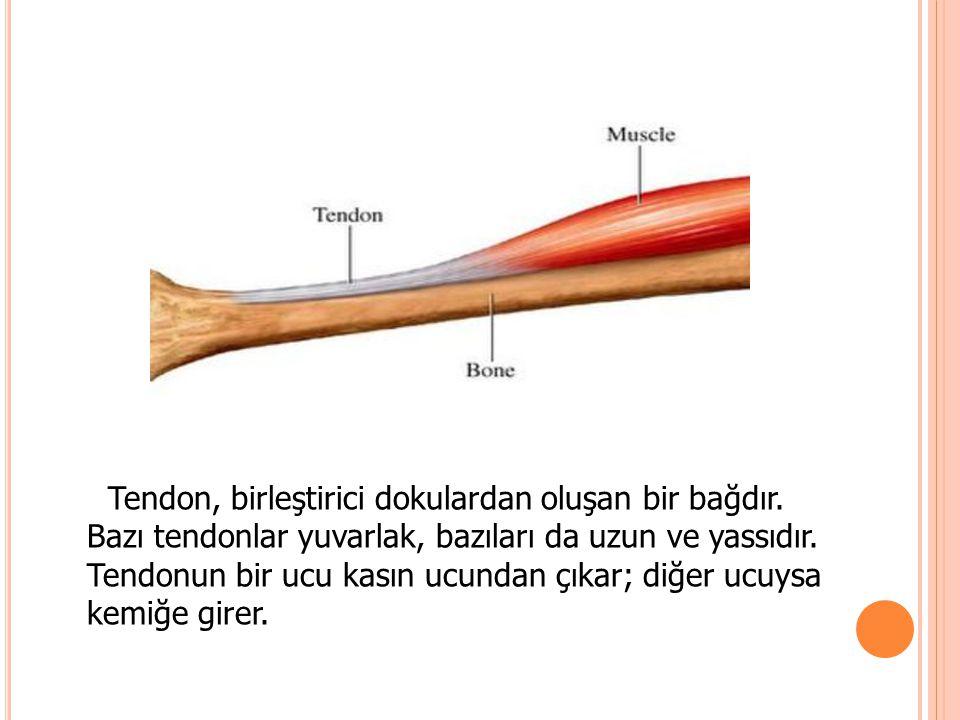 Tendon, birleştirici dokulardan oluşan bir bağdır. Bazı tendonlar yuvarlak, bazıları da uzun ve yassıdır. Tendonun bir ucu kasın ucundan çıkar; diğer