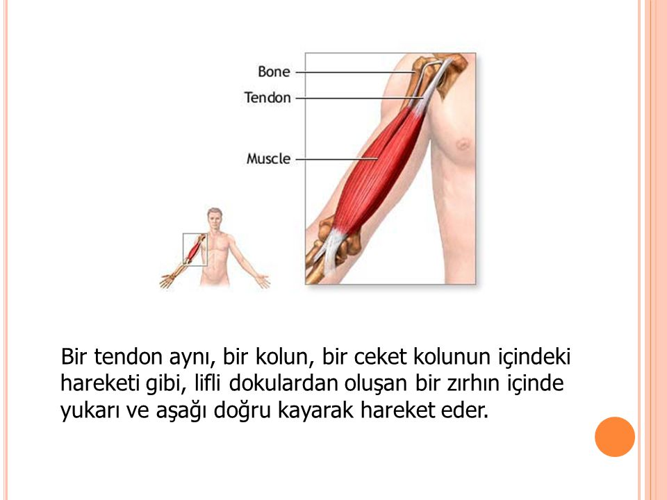 Bir tendon aynı, bir kolun, bir ceket kolunun içindeki hareketi gibi, lifli dokulardan oluşan bir zırhın içinde yukarı ve aşağı doğru kayarak hareket