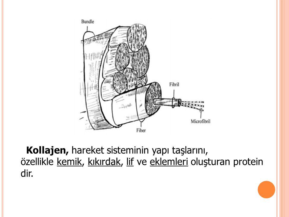 Kollajen, hareket sisteminin yapı taşlarını, özellikle kemik, kıkırdak, lif ve eklemleri oluşturan protein dir.