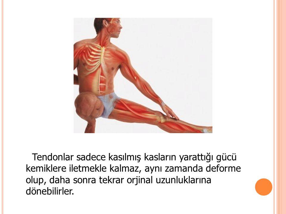 Tendonlar sadece kasılmış kasların yarattığı gücü kemiklere iletmekle kalmaz, aynı zamanda deforme olup, daha sonra tekrar orjinal uzunluklarına döneb