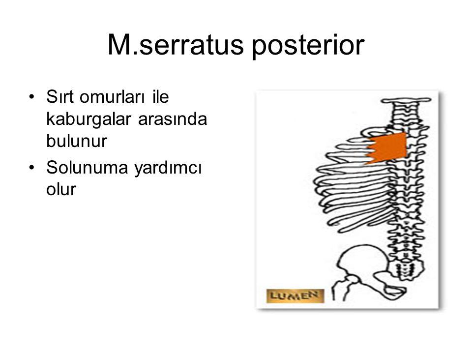 M.serratus posterior Sırt omurları ile kaburgalar arasında bulunur Solunuma yardımcı olur