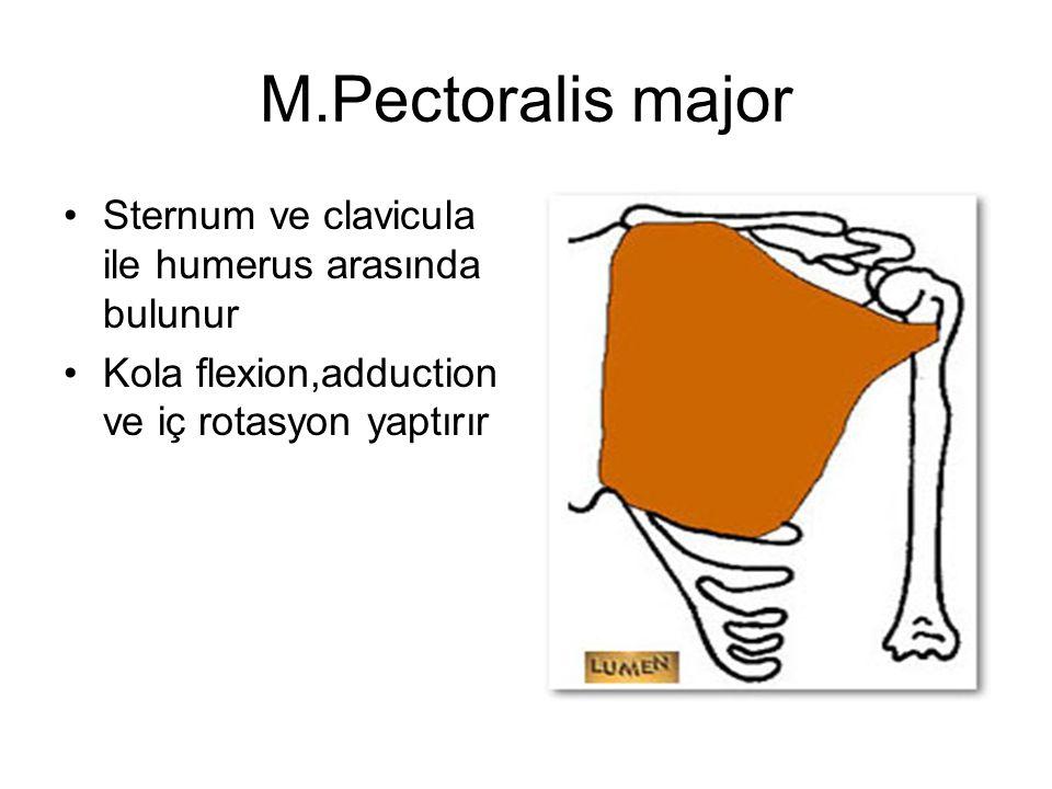 M.Pectoralis major Sternum ve clavicula ile humerus arasında bulunur Kola flexion,adduction ve iç rotasyon yaptırır