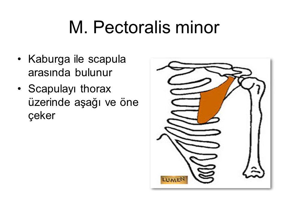 M. Pectoralis minor Kaburga ile scapula arasında bulunur Scapulayı thorax üzerinde aşağı ve öne çeker