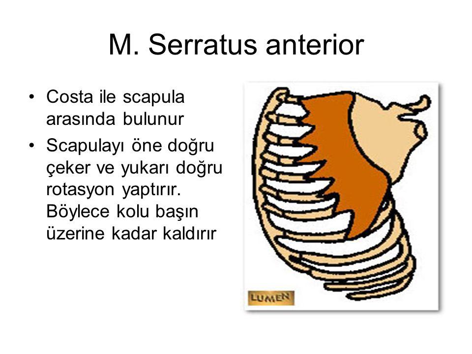 M. Serratus anterior Costa ile scapula arasında bulunur Scapulayı öne doğru çeker ve yukarı doğru rotasyon yaptırır. Böylece kolu başın üzerine kadar