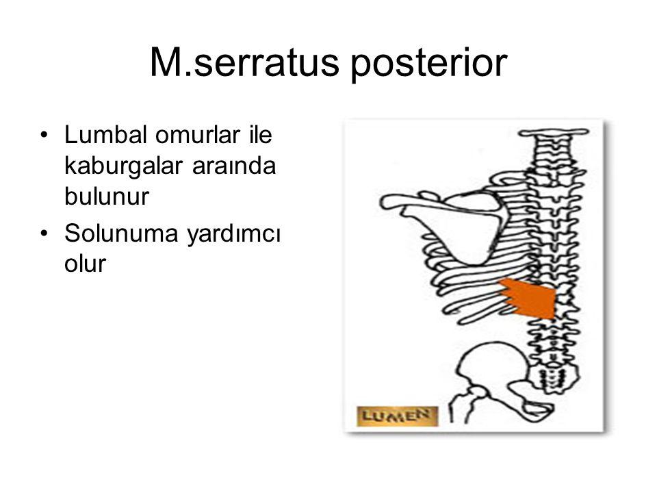 M.serratus posterior Lumbal omurlar ile kaburgalar araında bulunur Solunuma yardımcı olur