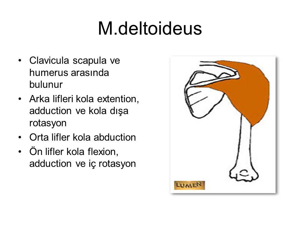 M.deltoideus Clavicula scapula ve humerus arasında bulunur Arka lifleri kola extention, adduction ve kola dışa rotasyon Orta lifler kola abduction Ön
