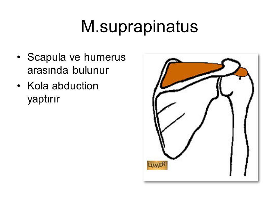 M.suprapinatus Scapula ve humerus arasında bulunur Kola abduction yaptırır