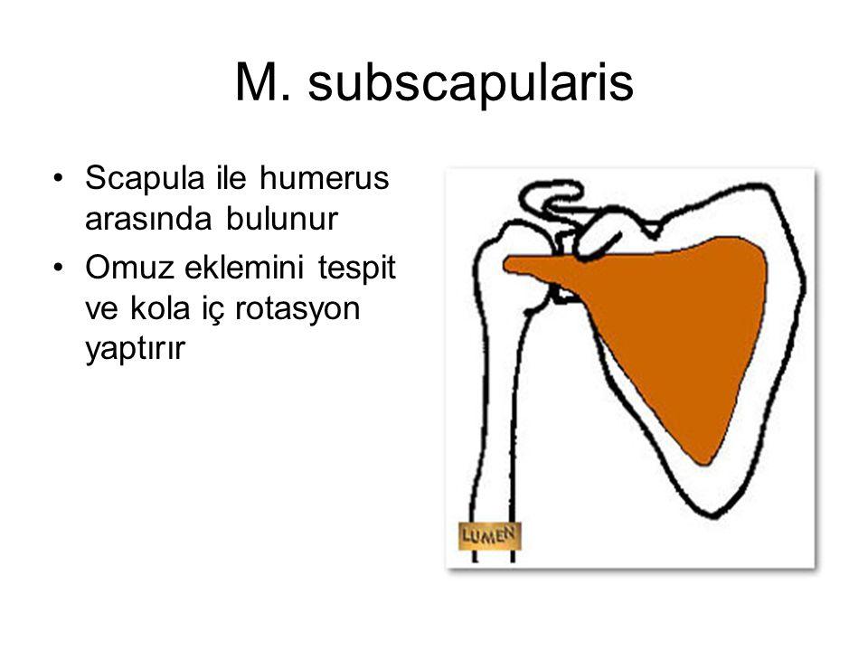 M. subscapularis Scapula ile humerus arasında bulunur Omuz eklemini tespit ve kola iç rotasyon yaptırır