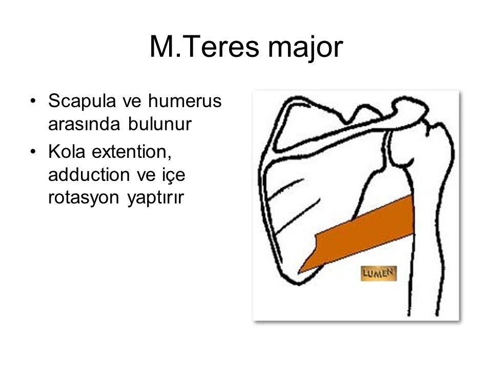 M.Teres major Scapula ve humerus arasında bulunur Kola extention, adduction ve içe rotasyon yaptırır