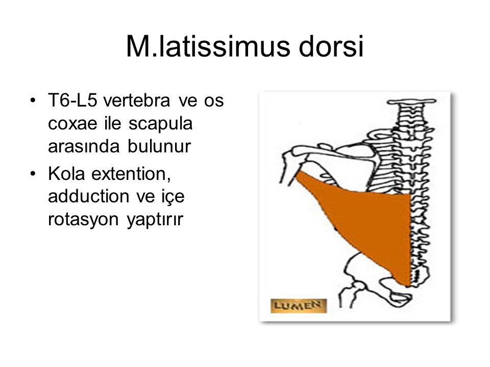 M.latissimus dorsi T6-L5 vertebra ve os coxae ile scapula arasında bulunur Kola extention, adduction ve içe rotasyon yaptırır