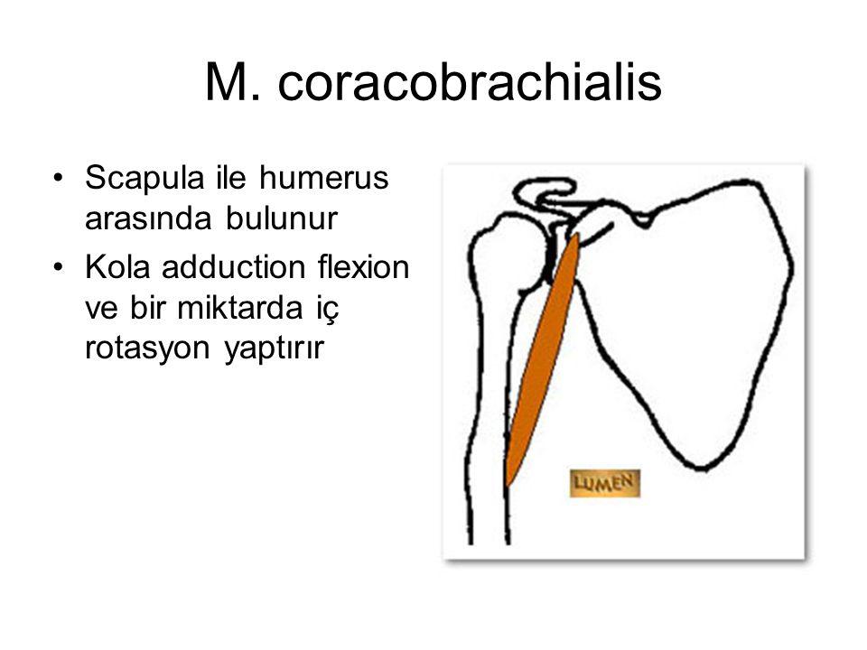 M. coracobrachialis Scapula ile humerus arasında bulunur Kola adduction flexion ve bir miktarda iç rotasyon yaptırır
