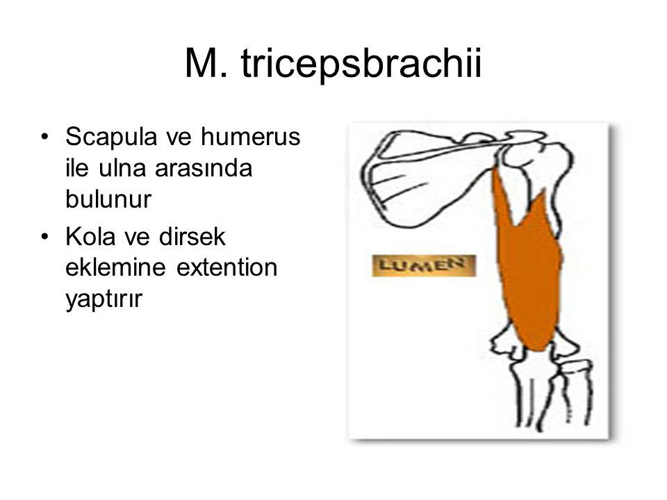 M. tricepsbrachii Scapula ve humerus ile ulna arasında bulunur Kola ve dirsek eklemine extention yaptırır