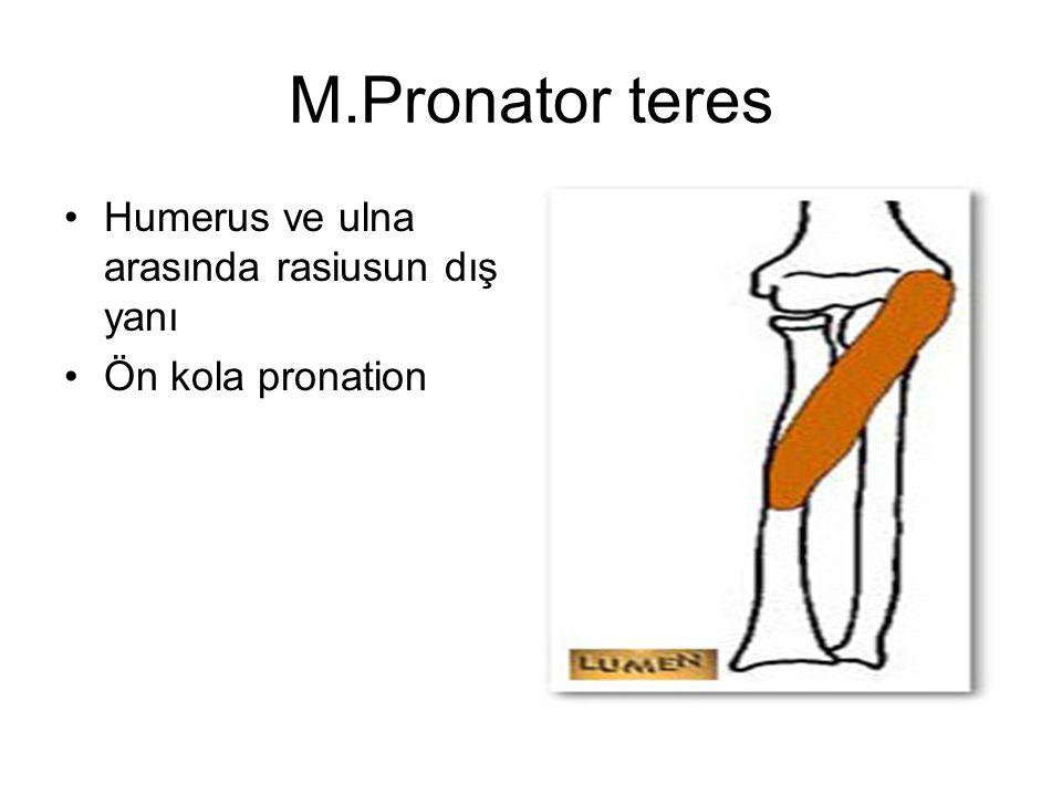 M.Pronator teres Humerus ve ulna arasında rasiusun dış yanı Ön kola pronation