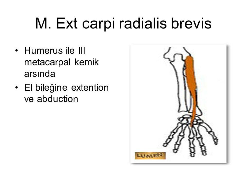 M. Ext carpi radialis brevis Humerus ile III metacarpal kemik arsında El bileğine extention ve abduction