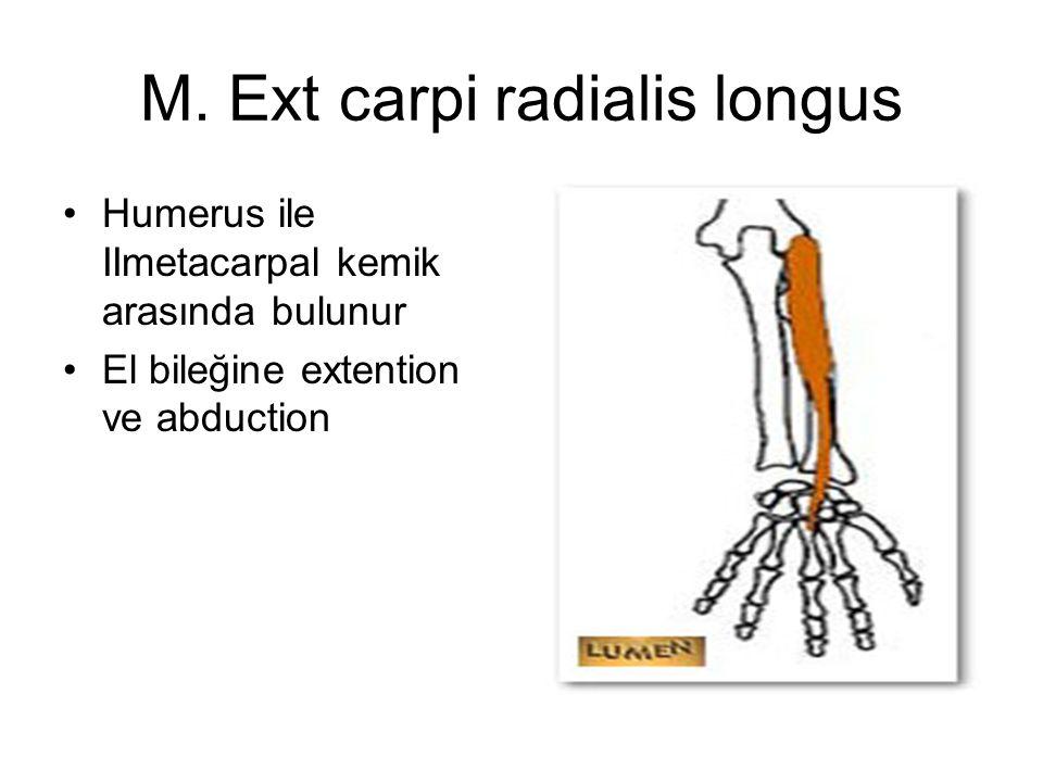 M. Ext carpi radialis longus Humerus ile IImetacarpal kemik arasında bulunur El bileğine extention ve abduction