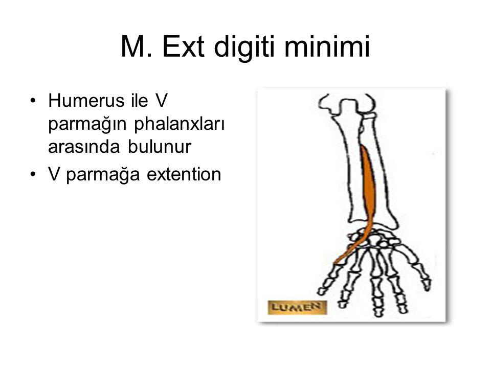 M. Ext digiti minimi Humerus ile V parmağın phalanxları arasında bulunur V parmağa extention