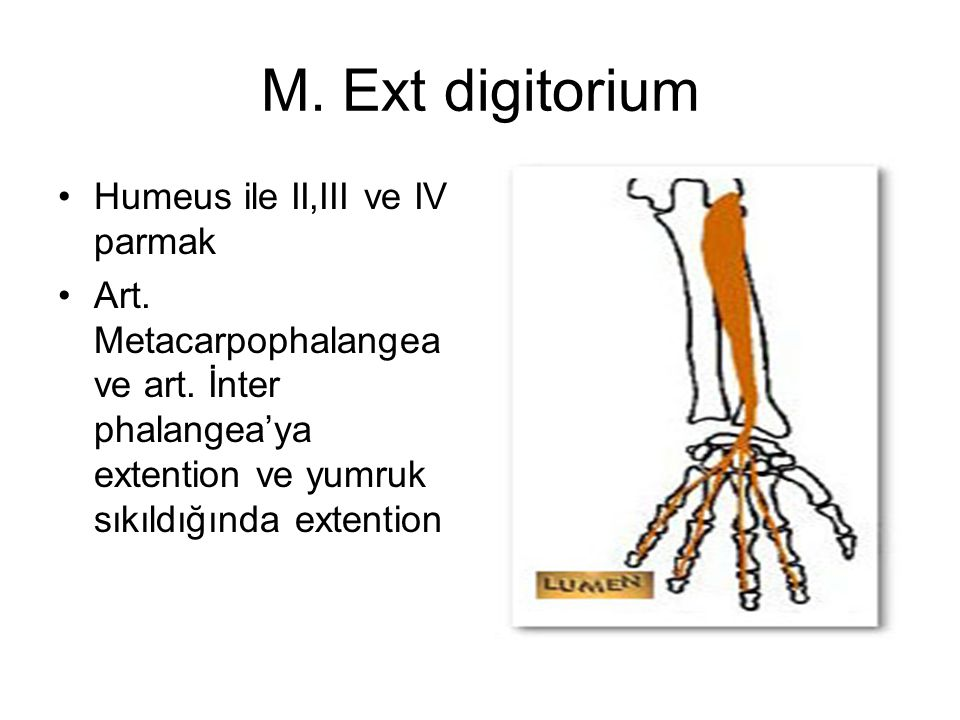 M. Ext digitorium Humeus ile II,III ve IV parmak Art. Metacarpophalangea ve art. İnter phalangea'ya extention ve yumruk sıkıldığında extention