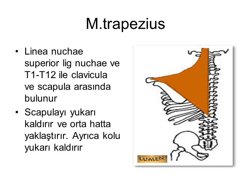 M.trapezius Linea nuchae superior lig nuchae ve T1-T12 ile clavicula ve scapula arasında bulunur Scapulayı yukarı kaldırır ve orta hatta yaklaştırır.