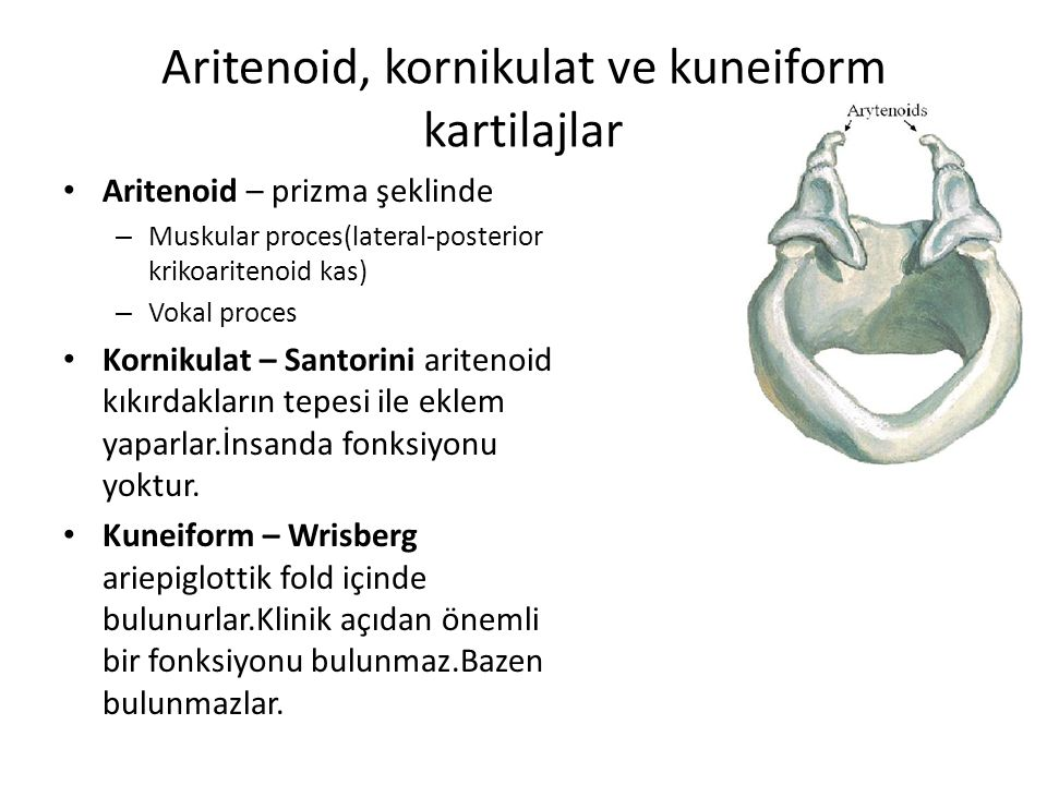 Aritenoid, kornikulat ve kuneiform kartilajlar Aritenoid – prizma şeklinde – Muskular proces(lateral-posterior krikoaritenoid kas) – Vokal proces Korn
