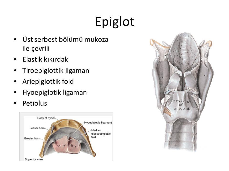 Epiglot Üst serbest bölümü mukoza ile çevrili Elastik kıkırdak Tiroepiglottik ligaman Ariepiglottik fold Hyoepiglotik ligaman Petiolus