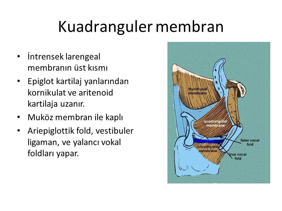 Kuadranguler membran İntrensek larengeal membranın üst kısmı Epiglot kartilaj yanlarından kornikulat ve aritenoid kartilaja uzanır. Muköz membran ile