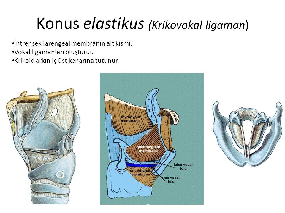 Konus elastikus (Krikovokal ligaman) İntrensek larengeal membranın alt kısmı. Vokal ligamanları oluşturur. Krikoid arkın iç üst kenarına tutunur.