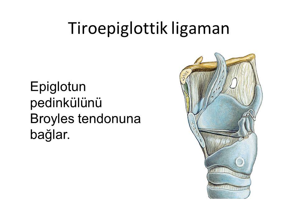 Tiroepiglottik ligaman Epiglotun pedinkülünü Broyles tendonuna bağlar.