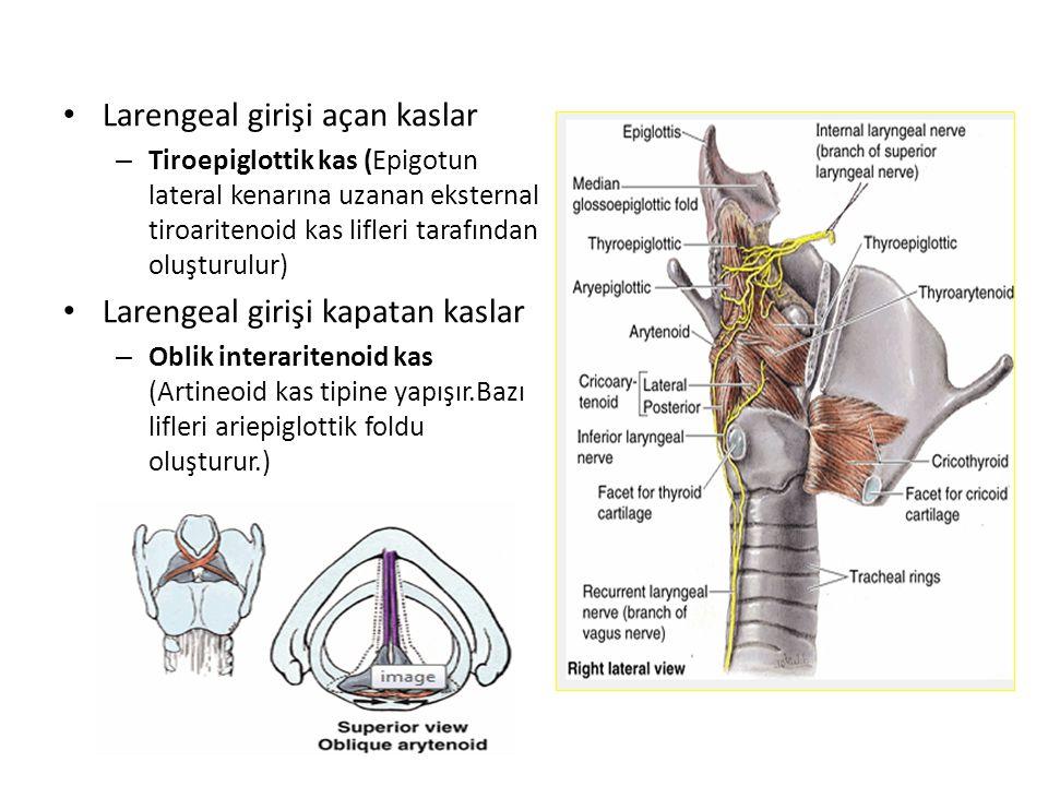 Larengeal girişi açan kaslar – Tiroepiglottik kas (Epigotun lateral kenarına uzanan eksternal tiroaritenoid kas lifleri tarafından oluşturulur) Lareng