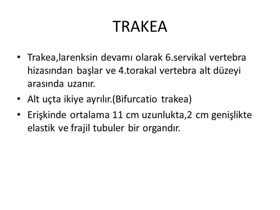 TRAKEA Trakea,larenksin devamı olarak 6.servikal vertebra hizasından başlar ve 4.torakal vertebra alt düzeyi arasında uzanır. Alt uçta ikiye ayrılır.(
