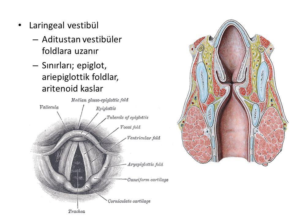 Laringeal vestibül – Aditustan vestibüler foldlara uzanır – Sınırları; epiglot, ariepiglottik foldlar, aritenoid kaslar