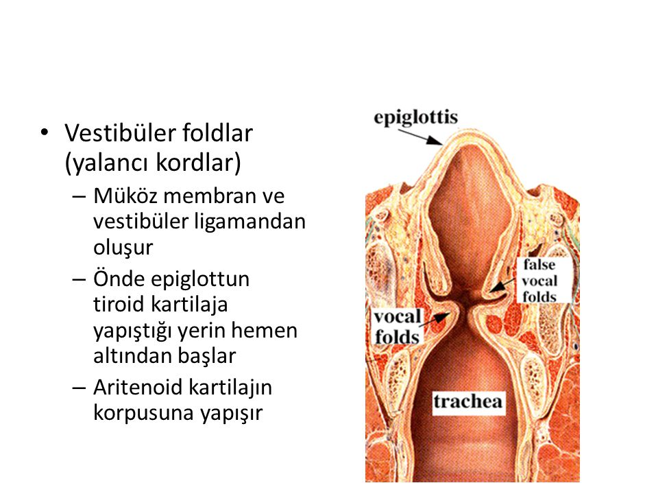 Vestibüler foldlar (yalancı kordlar) – Müköz membran ve vestibüler ligamandan oluşur – Önde epiglottun tiroid kartilaja yapıştığı yerin hemen altından