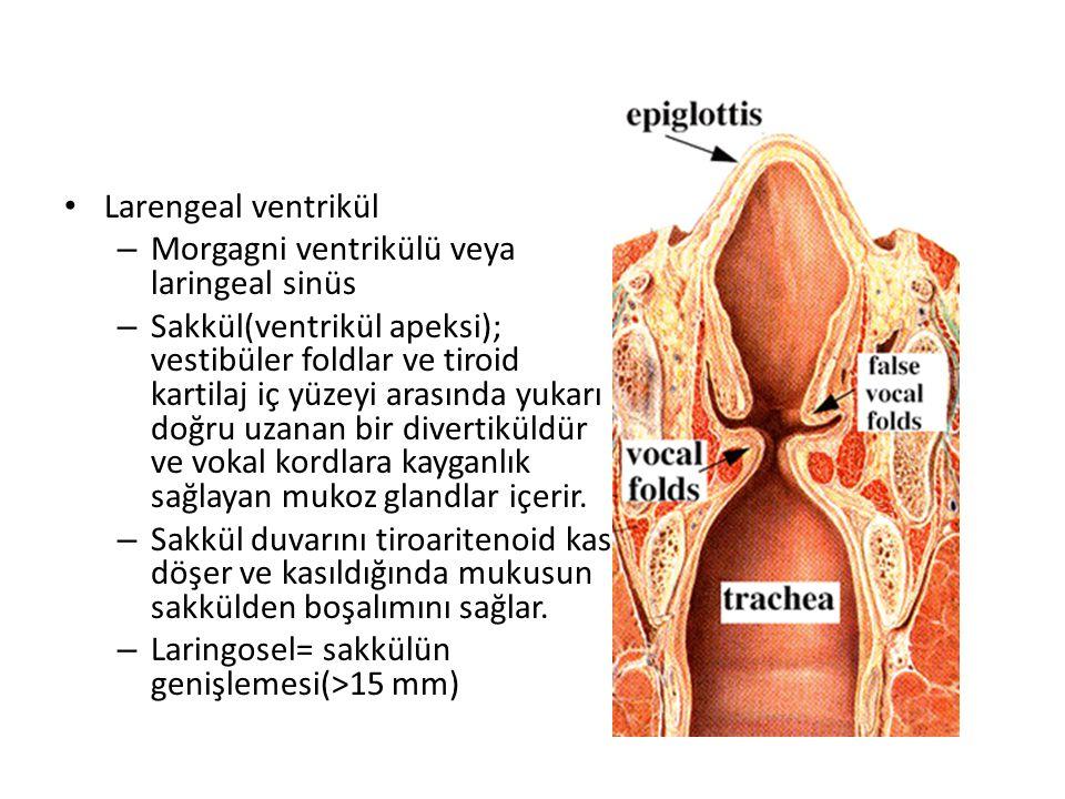Larengeal ventrikül – Morgagni ventrikülü veya laringeal sinüs – Sakkül(ventrikül apeksi); vestibüler foldlar ve tiroid kartilaj iç yüzeyi arasında yu