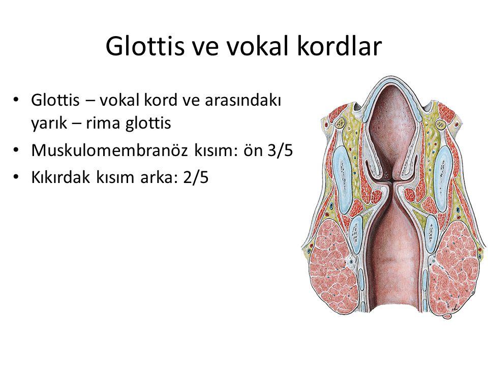 Glottis ve vokal kordlar Glottis – vokal kord ve arasındakı yarık – rima glottis Muskulomembranöz kısım: ön 3/5 Kıkırdak kısım arka: 2/5