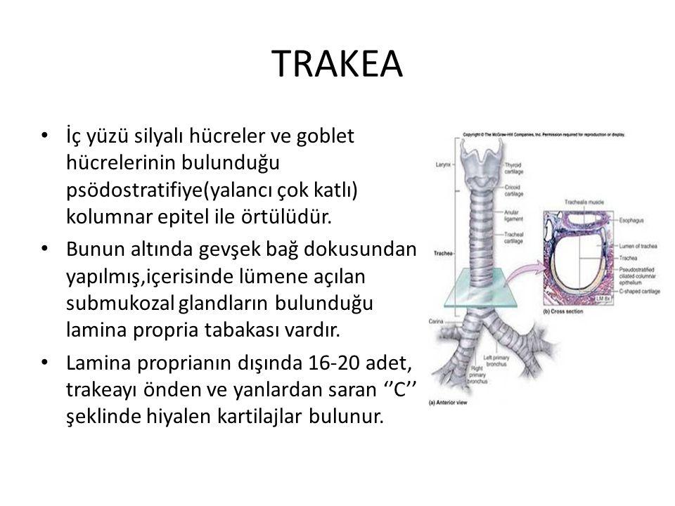 TRAKEA İç yüzü silyalı hücreler ve goblet hücrelerinin bulunduğu psödostratifiye(yalancı çok katlı) kolumnar epitel ile örtülüdür. Bunun altında gevşe