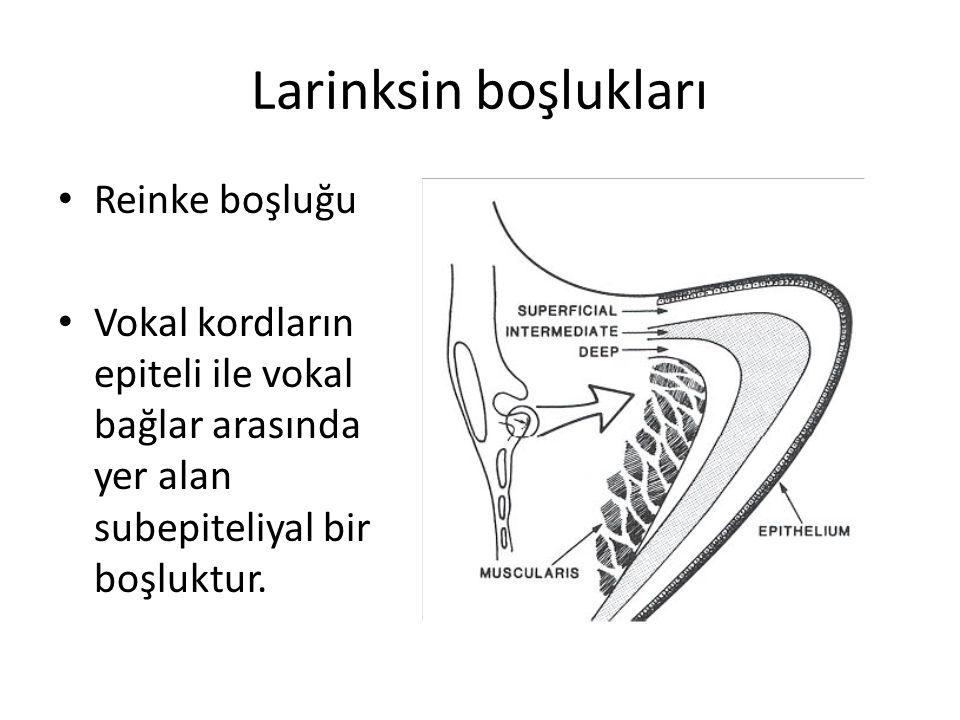 Larinksin boşlukları Reinke boşluğu Vokal kordların epiteli ile vokal bağlar arasında yer alan subepiteliyal bir boşluktur.