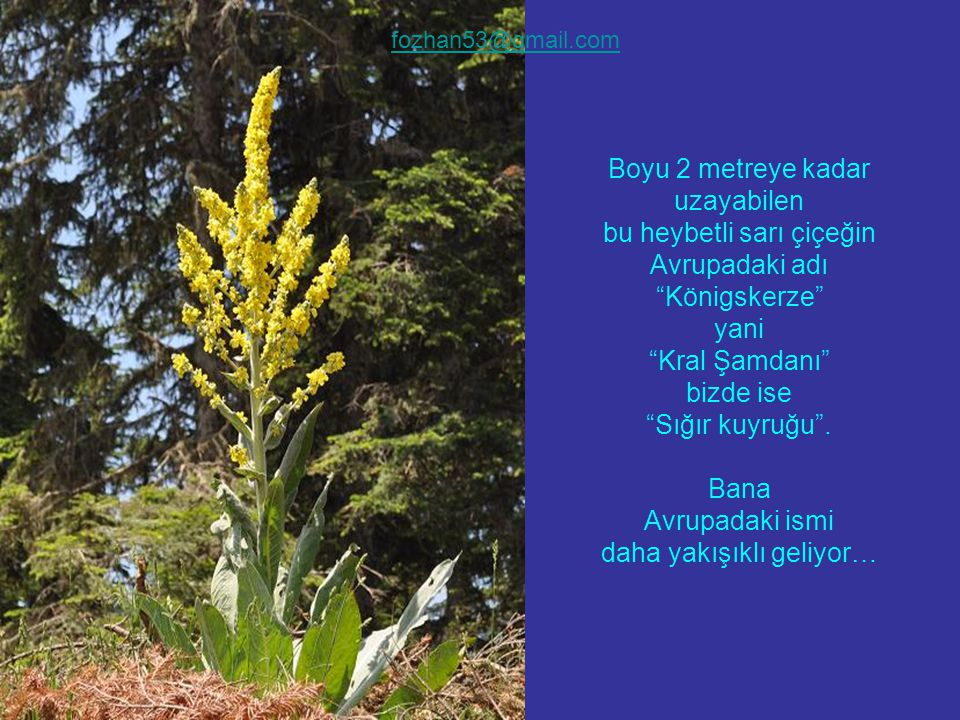 Boyu 2 metreye kadar uzayabilen bu heybetli sarı çiçeğin Avrupadaki adı Königskerze yani Kral Şamdanı bizde ise Sığır kuyruğu .