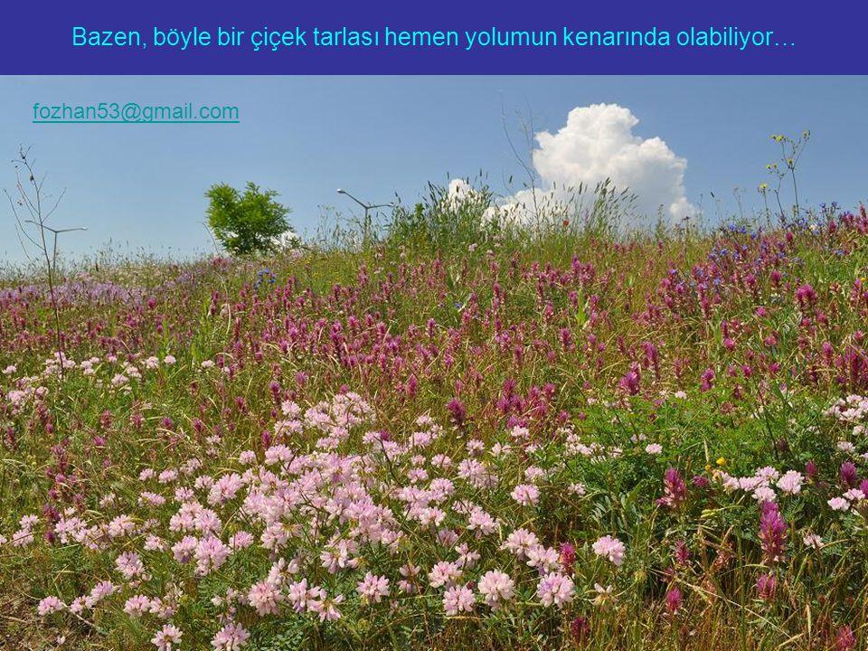 Bazen, böyle bir çiçek tarlası hemen yolumun kenarında olabiliyor… fozhan53@gmail.com