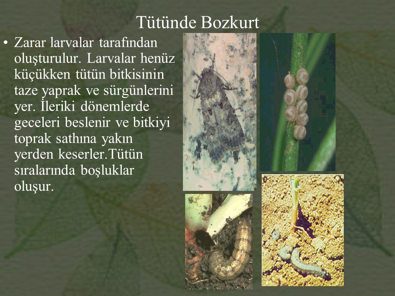 Tütünde Bozkurt Zarar larvalar tarafından oluşturulur.