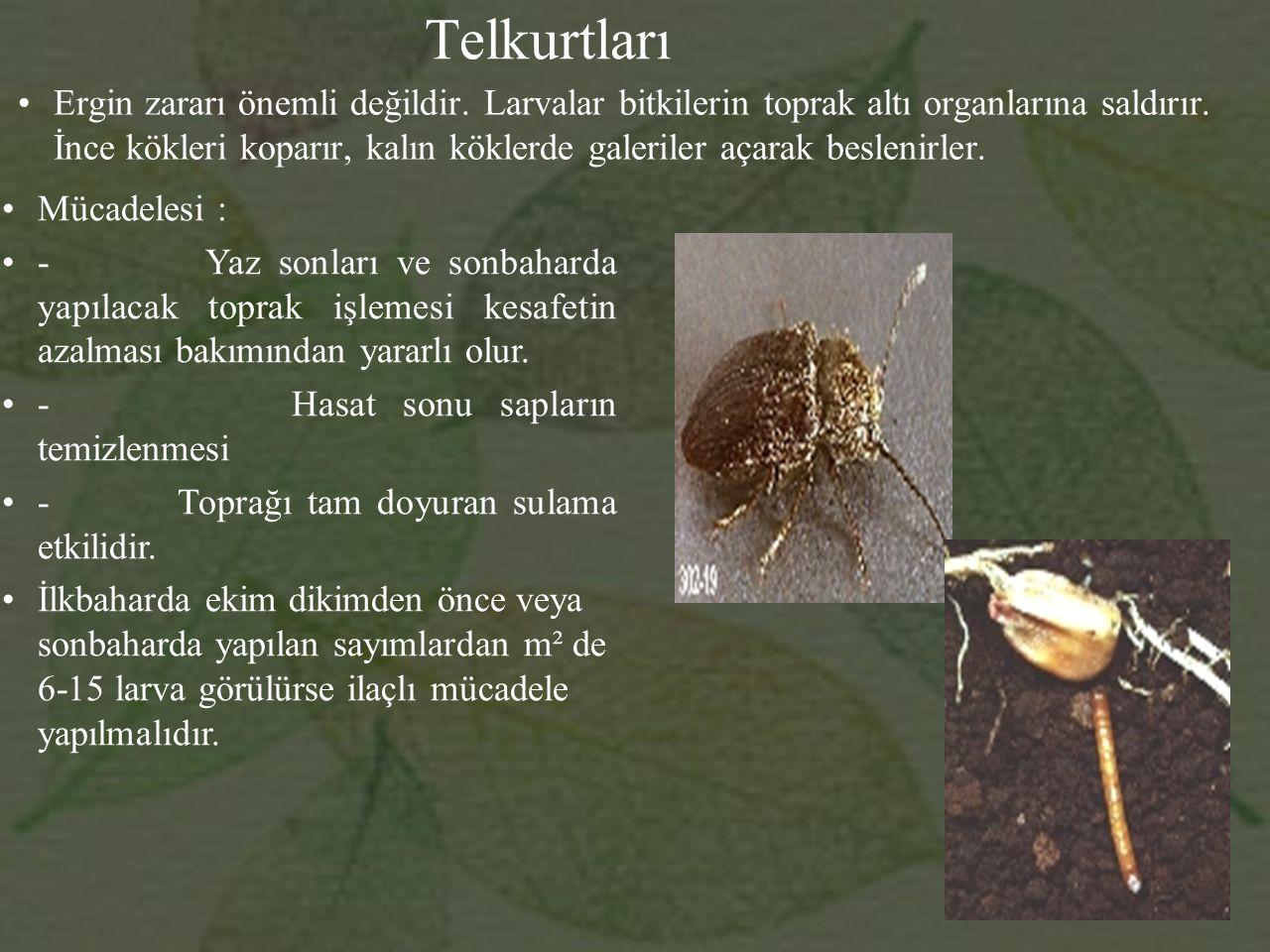 Telkurtları Ergin zararı önemli değildir.Larvalar bitkilerin toprak altı organlarına saldırır.