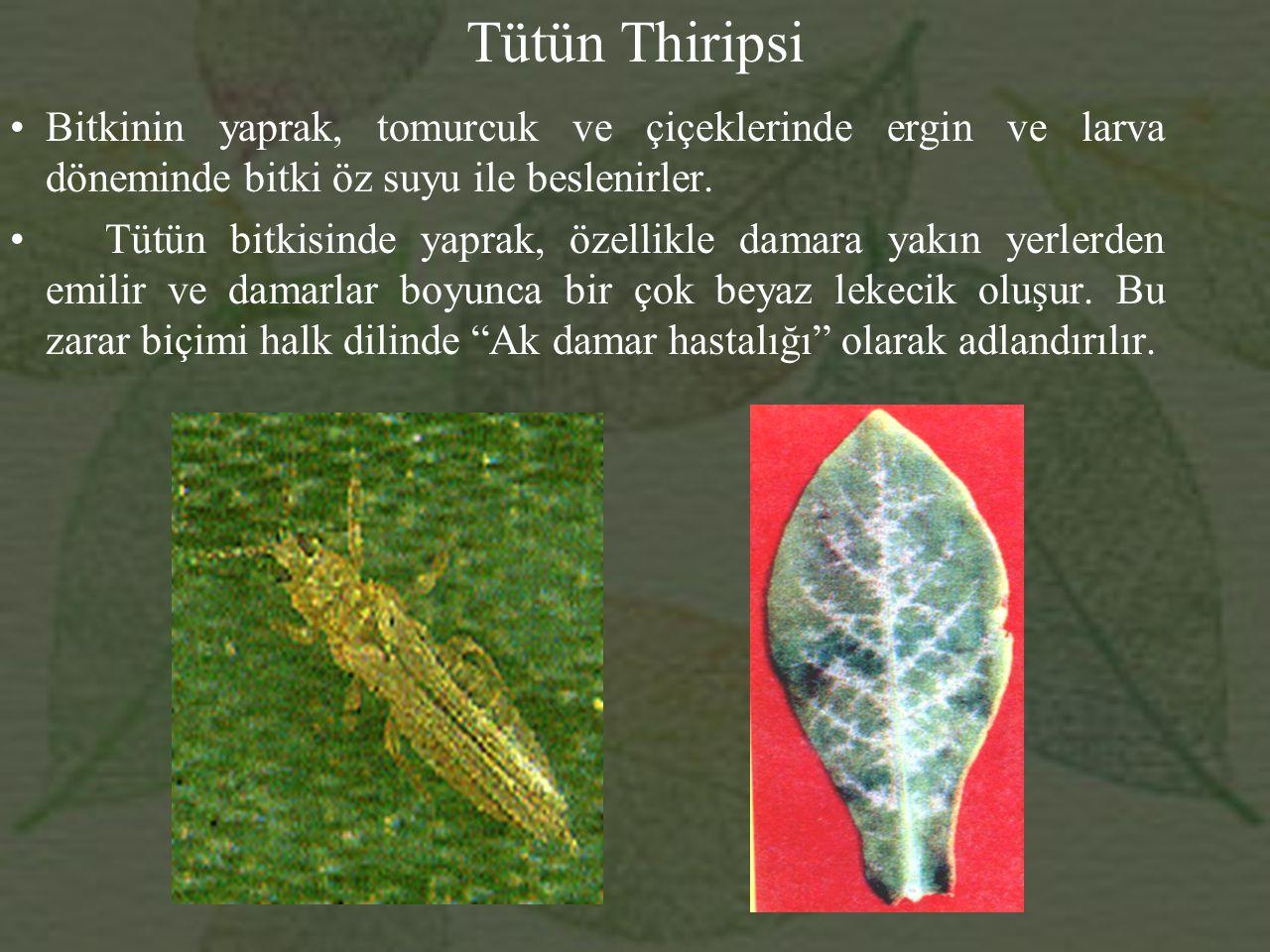 Tütün Thiripsi Bitkinin yaprak, tomurcuk ve çiçeklerinde ergin ve larva döneminde bitki öz suyu ile beslenirler.