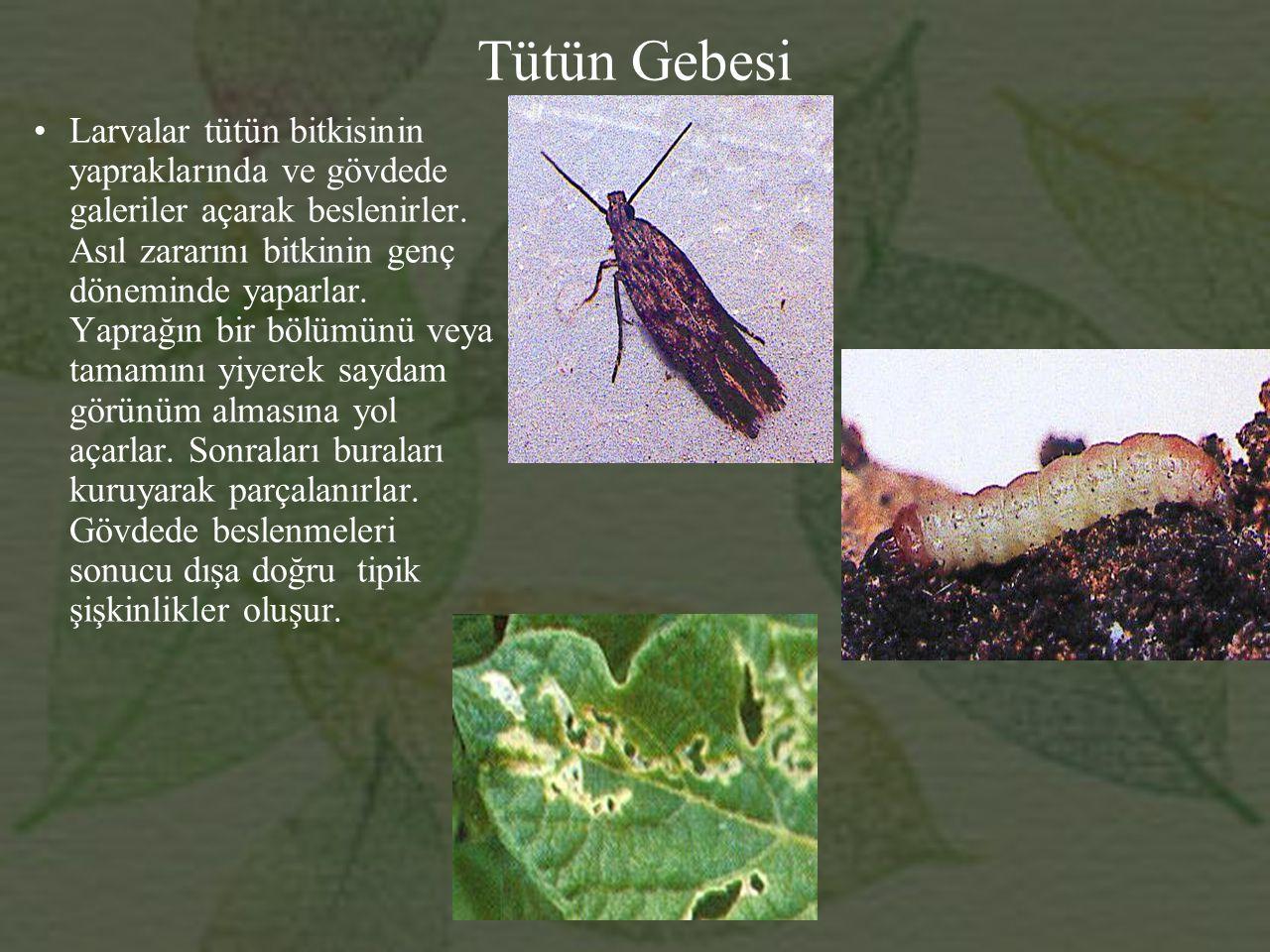 Tütün Gebesi Larvalar tütün bitkisinin yapraklarında ve gövdede galeriler açarak beslenirler.