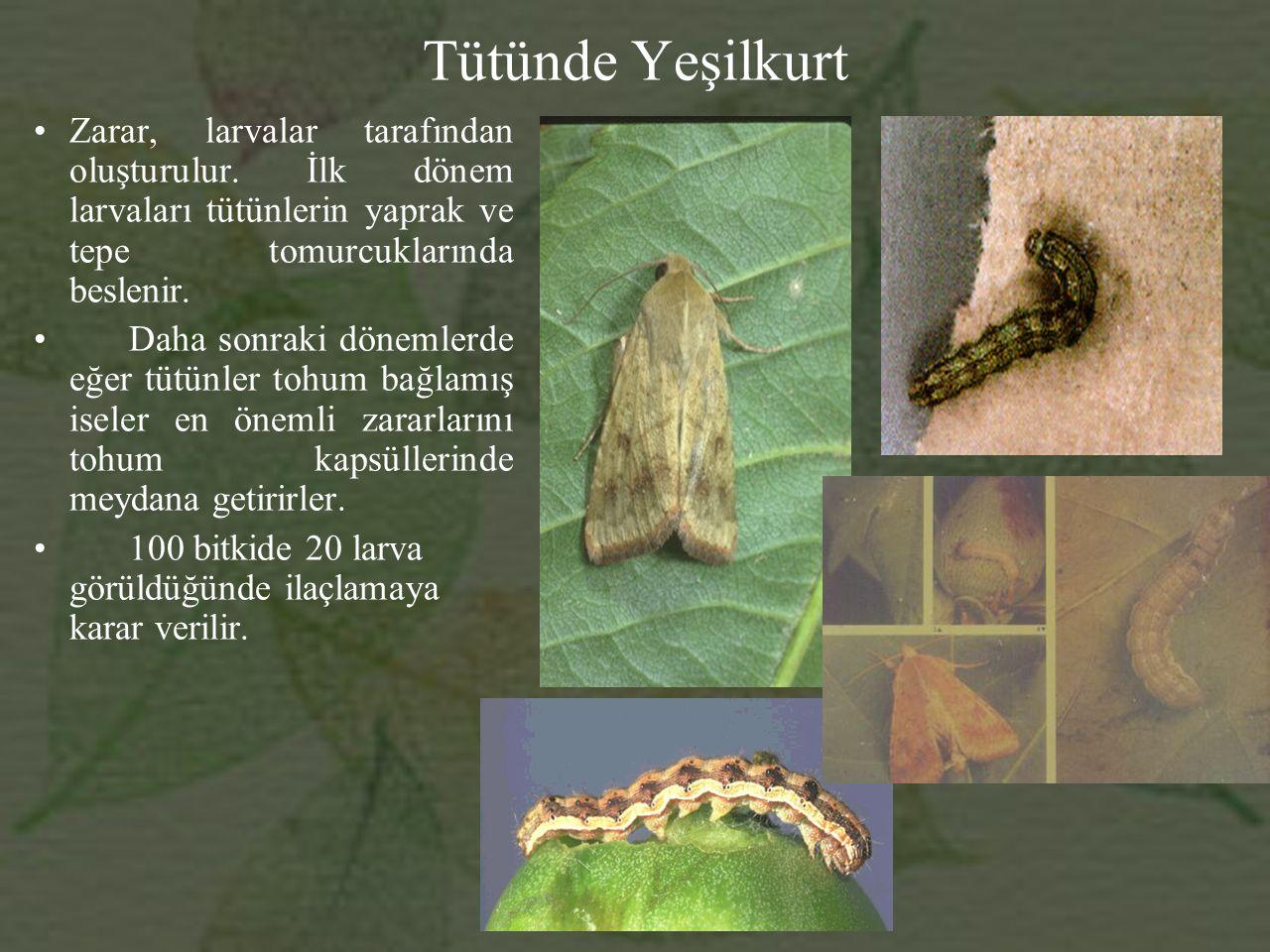 Tütünde Yeşilkurt Zarar, larvalar tarafından oluşturulur.