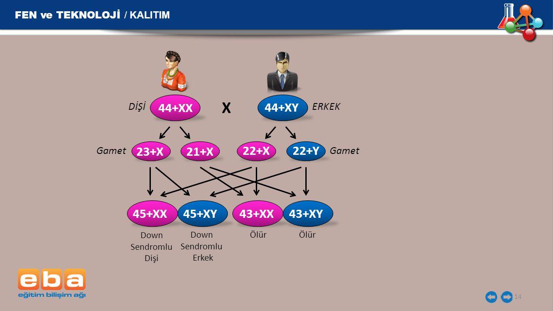 FEN ve TEKNOLOJİ / KALITIM 14 DİŞİERKEK X Gamet Down Sendromlu Dişi Down Sendromlu Erkek 44+XX 44+XY 23+X 21+X 45+XX45+XY43+XX43+XY 22+X22+Y Ölür