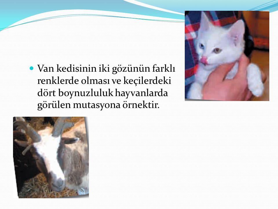 Van kedisinin iki gözünün farklı renklerde olması ve keçilerdeki dört boynuzluluk hayvanlarda görülen mutasyona örnektir.