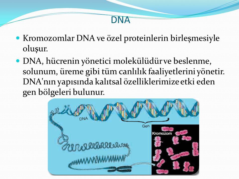 DNA Kromozomlar DNA ve özel proteinlerin birleşmesiyle oluşur. DNA, hücrenin yönetici molekülüdür ve beslenme, solunum, üreme gibi tüm canlılık faaliy
