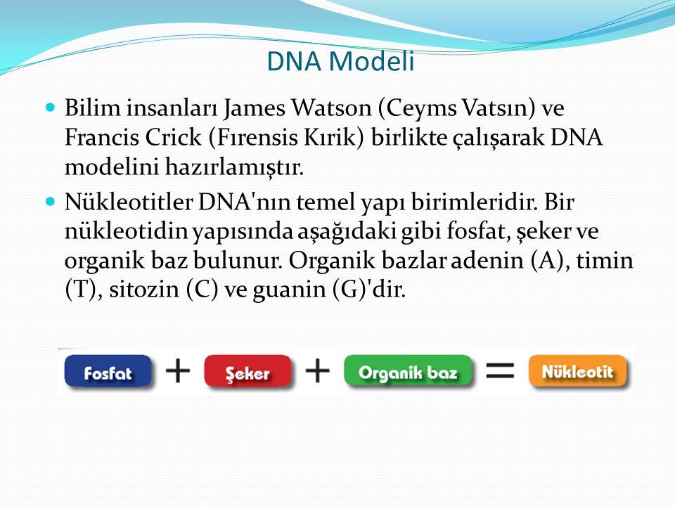 DNA Modeli Bilim insanları James Watson (Ceyms Vatsın) ve Francis Crick (Fırensis Kırik) birlikte çalışarak DNA modelini hazırlamıştır. Nükleotitler D